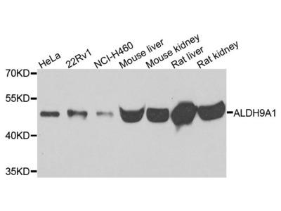 ALDH9A1 Polyclonal Antibody