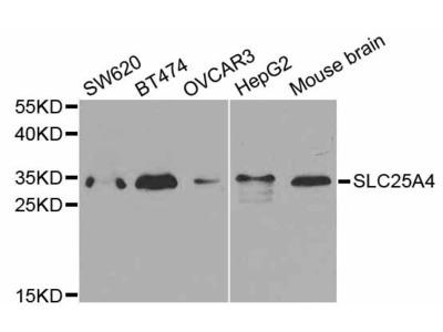 SLC25A4 Polyclonal Antibody