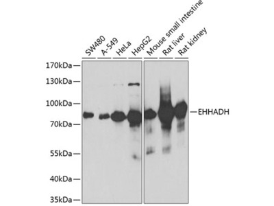 EHHADH Polyclonal Antibody