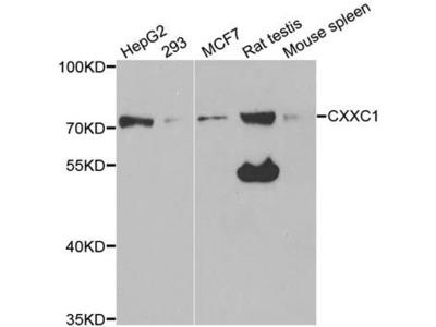 CXXC1 Rabbit pAb