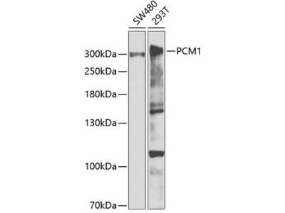 PCM1 Rabbit pAb