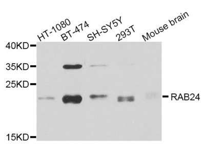 RAB24 Antibody