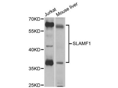 SLAMF1 Polyclonal Antibody