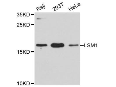 LSM1 Polyclonal Antibody