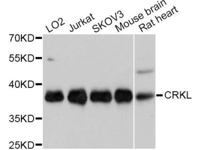 [KO Validated] CRKL Polyclonal Antibody