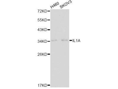 IL1A Polyclonal Antibody