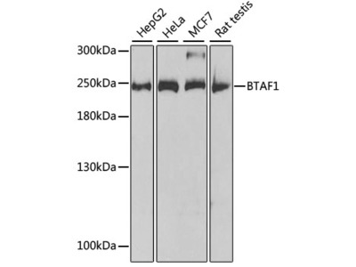BTAF1 Rabbit pAb