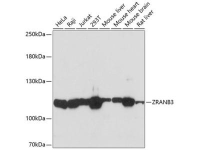 ZRANB3 Polyclonal Antibody