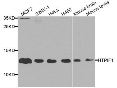 ATPIF1 Rabbit pAb
