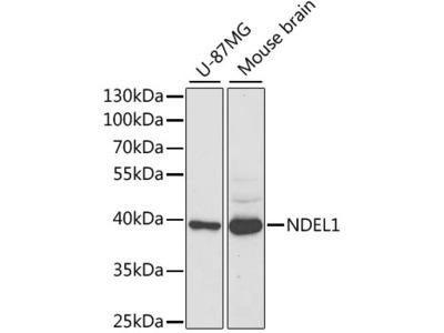 NDEL1 Polyclonal Antibody