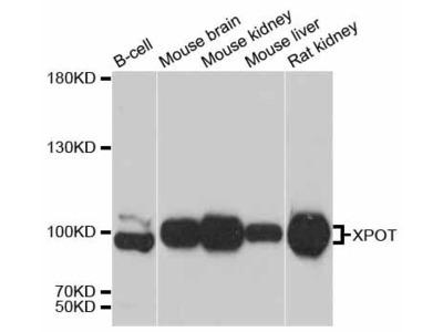 XPOT Polyclonal Antibody