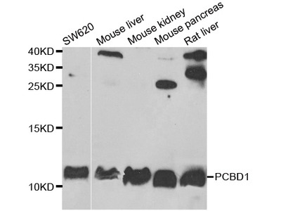 PCBD1 Rabbit pAb