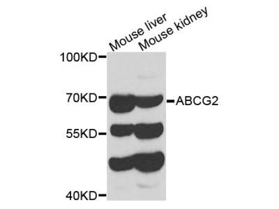 ABCG2 Polyclonal Antibody