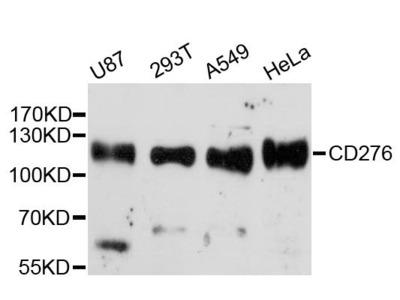 CD276 Polyclonal Antibody