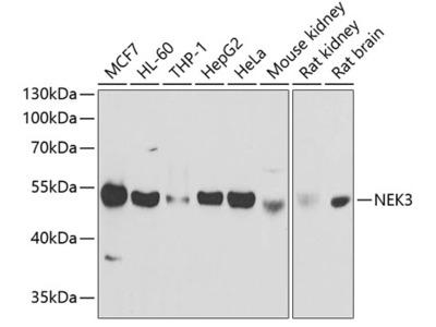 NEK3 Polyclonal Antibody