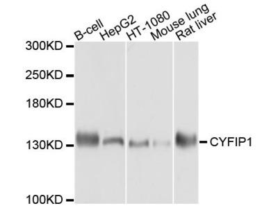 CYFIP1 Polyclonal Antibody