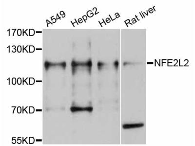 NFE2L2 Polyclonal Antibody