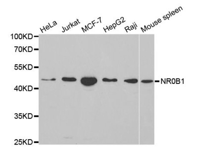 NR0B1 Polyclonal Antibody