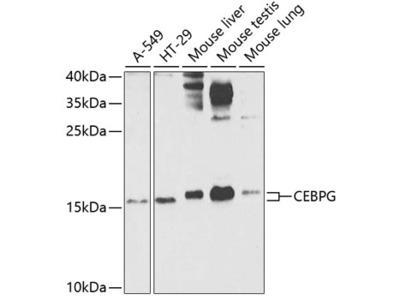 CEBPG Polyclonal Antibody