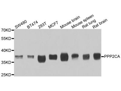 PP2A Catalytic α Rabbit pAb