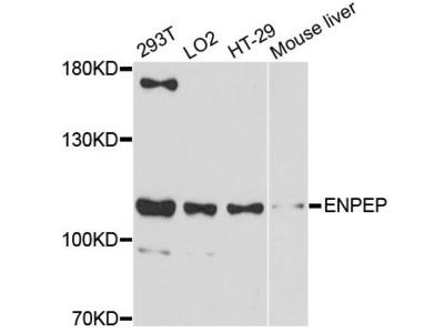 ENPEP Polyclonal Antibody