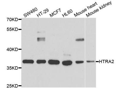 HTRA2 Polyclonal Antibody
