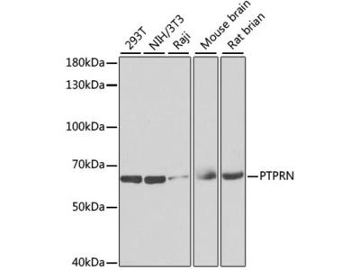 PTPRN Polyclonal Antibody