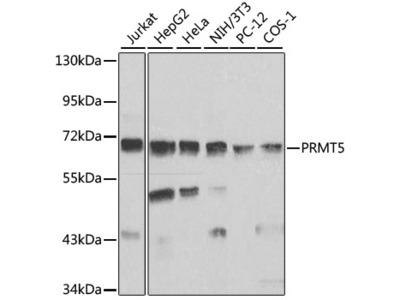 PRMT5 Polyclonal Antibody