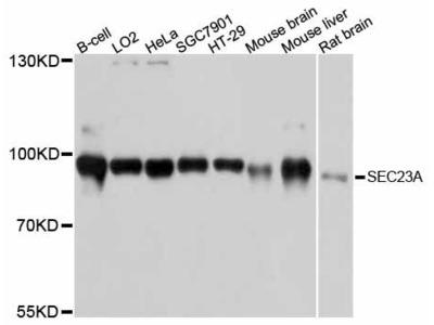 SEC23A Polyclonal Antibody
