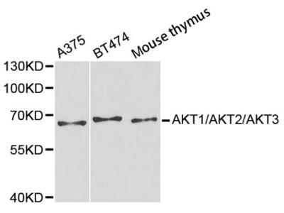 Pan-AKT Antibody