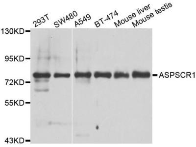 ASPSCR1 Polyclonal Antibody