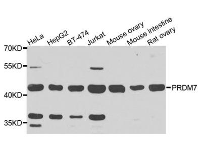 PRDM7 Polyclonal Antibody