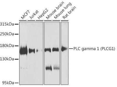 PLC gamma 1 (PLCG1) Rabbit pAb