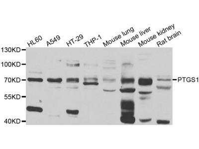 COX1/PTGS1 Rabbit pAb