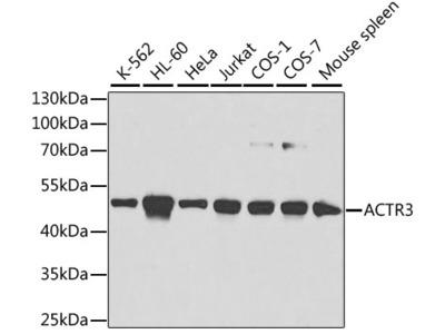 ACTR3 Polyclonal Antibody