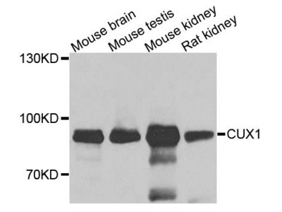 CUX1 Polyclonal Antibody
