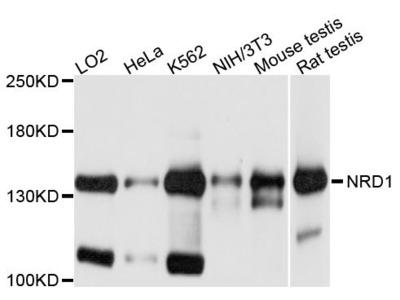 NRD1 Polyclonal Antibody