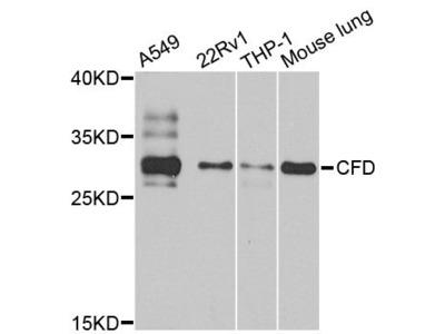CFD Polyclonal Antibody