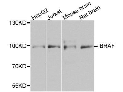 BRAF Polyclonal Antibody