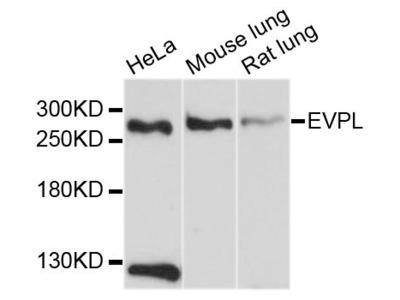 EVPL Polyclonal Antibody