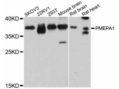 PMEPA1 Polyclonal Antibody