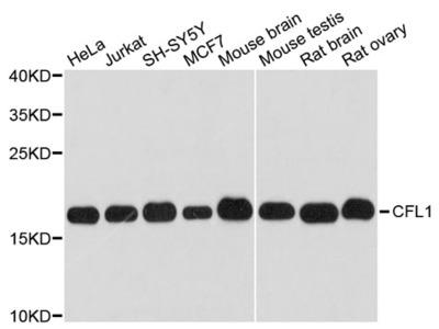 CFL1 Polyclonal Antibody