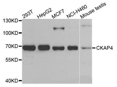 CKAP4 Polyclonal Antibody