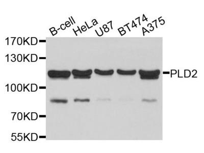 PLD2 Polyclonal Antibody