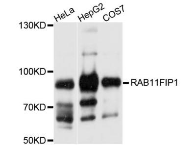 RAB11FIP1 Antibody