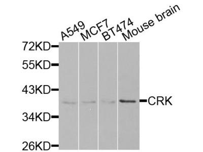CRK Polyclonal Antibody