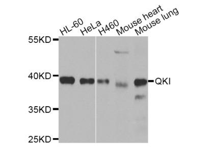 QKI Polyclonal Antibody
