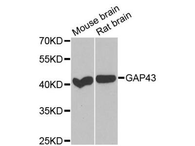 GAP43 Polyclonal Antibody
