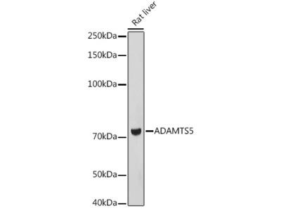 ADAMTS5 Rabbit pAb
