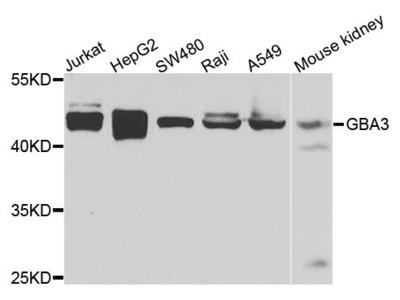GBA3 Polyclonal Antibody
